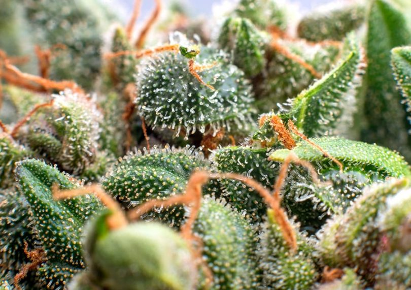 CBD – An Introduction to Terpenes
