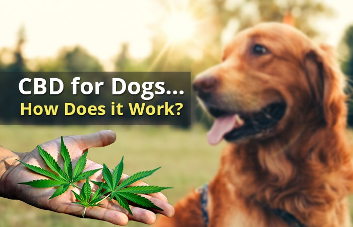Effects Of CBD Oil On Dog Seizures And Canine Epilepsy