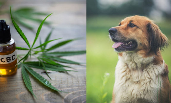 Try CBD Oil To Get Your Pets Out Of Pain